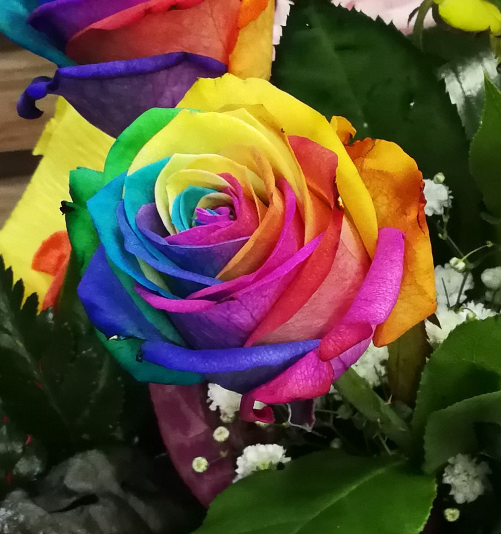 Rosa arcoiris natural flores dalia - Fotos de rosas de colores ...