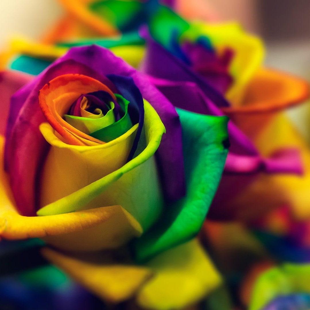 Rosas arco íris