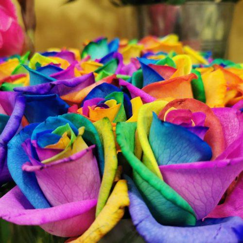 rosas arcoíris